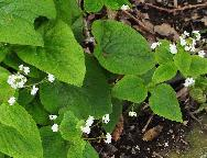 Brunnera macrophylla 'Betty Bowring' witte bloemen