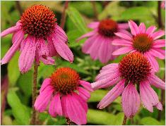 Echinacea purpurea 'Kim's Knee High vn